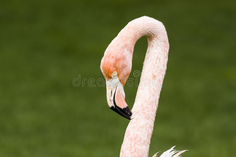 Flamingoportret stock afbeeldingen