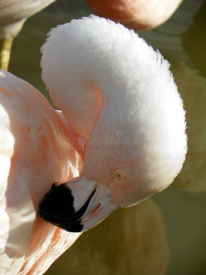 Flamingoputzen lizenzfreies stockfoto