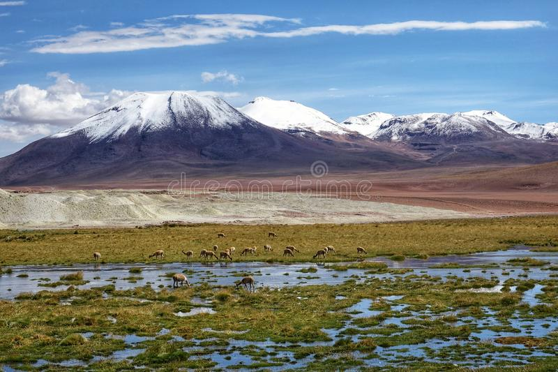 Flamingosäsong i Uyuni, Bolivia arkivbilder