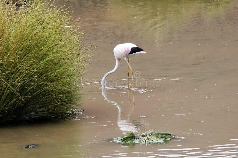 Flamingosäsong i Uyuni, Bolivia royaltyfria foton