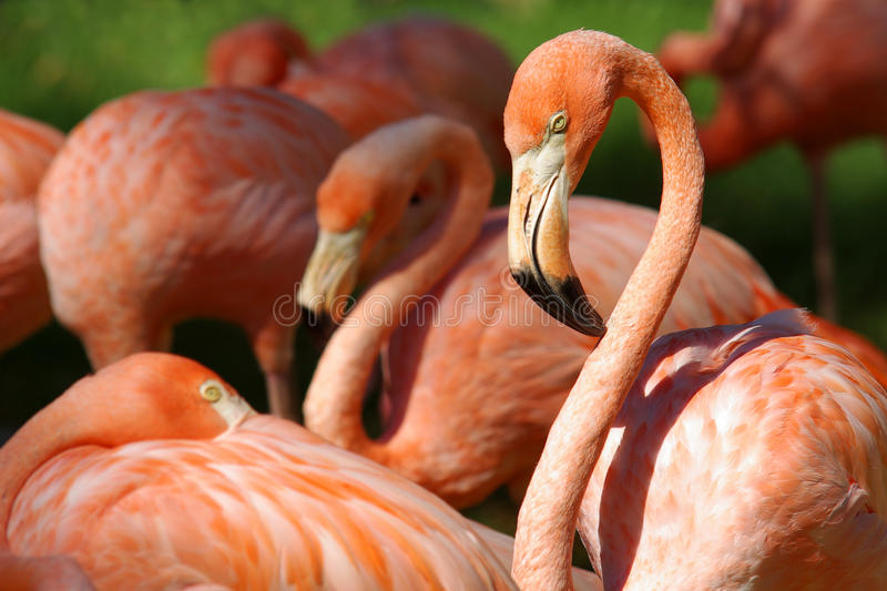 Flamingos. A group of flamingos in a zoo over a green grass background stock photography