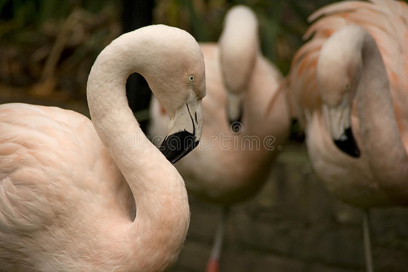 Download Flamingos stock image. Image of family, arch, beaks, birds - 14320715