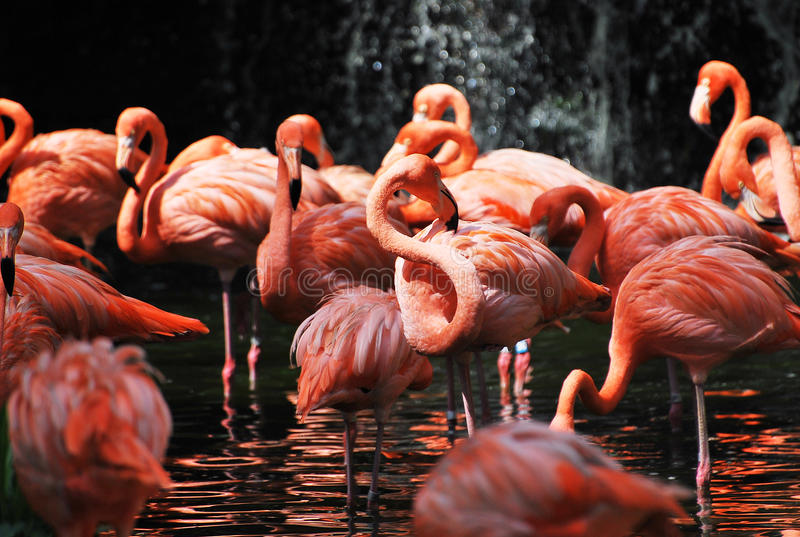 Flamingos. A flock of flamingos in red standing on shallow water royalty free stock photography