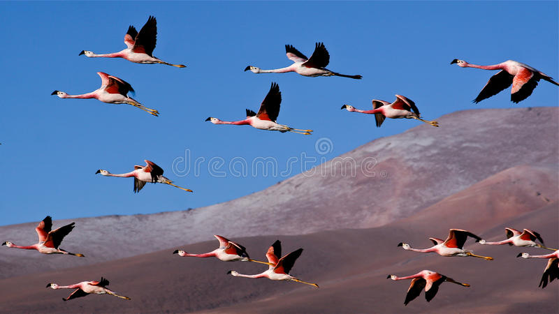 Flamingos. Picture taken in the driest place on Earth the Atacama desert by the entrance of the Tras Cruces National Parc. Flamingos flying over the salty lake royalty free stock photos