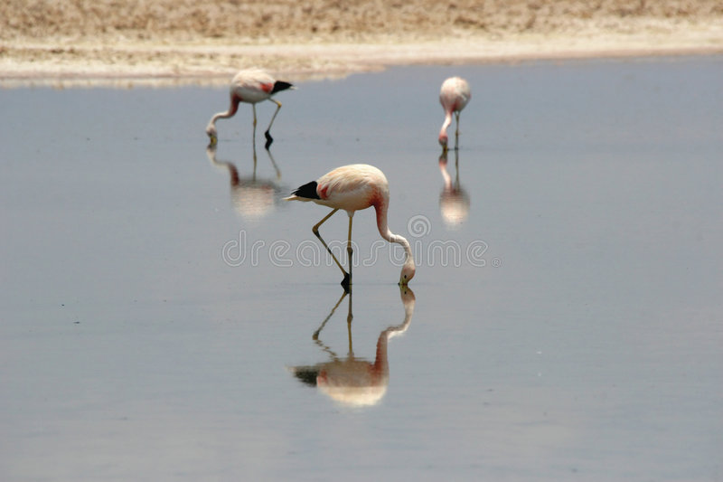 Flamingos. In the Atacama desert, Chile royalty free stock images