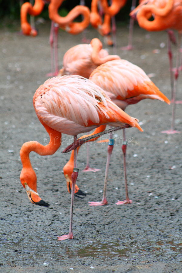 Download Flamingos stock image. Image of twins, nature, centre - 6259285