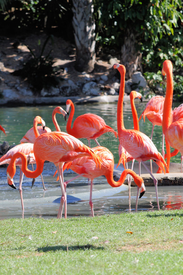 Flamingos. A group of flamingos rest near a cool spring of water royalty free stock image