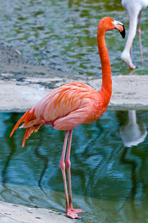Download Flamingos stock image. Image of neck, bird, long, flamingo - 7914393