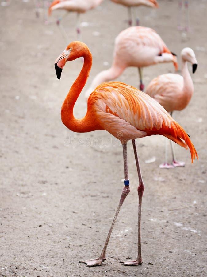 Free Flamingos Stock Image - 86223161