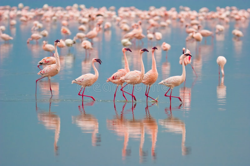 Download Flamingos stock image. Image of african, color, feathers - 9299385
