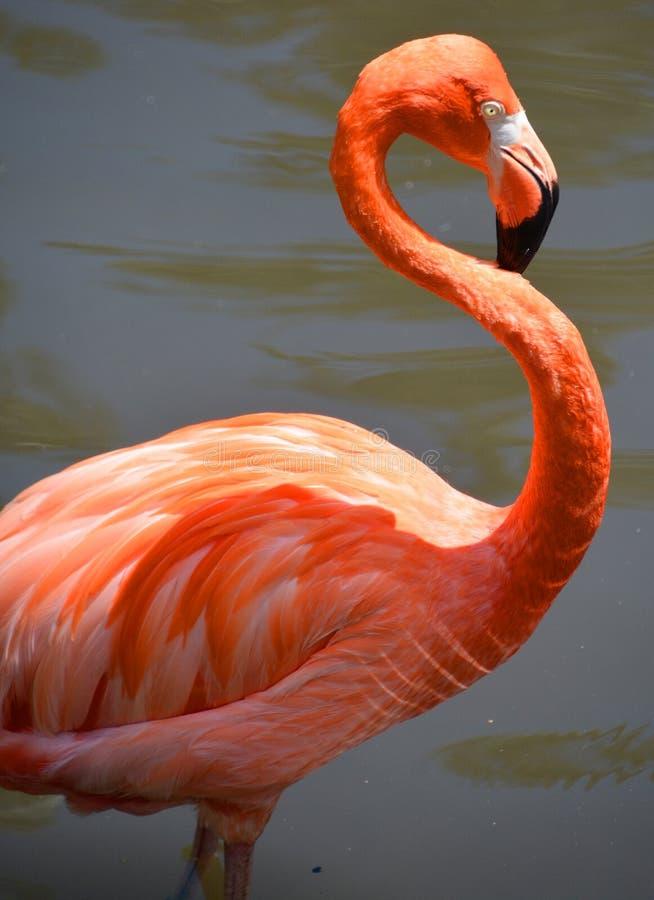 Free Flamingos Royalty Free Stock Photography - 95250767