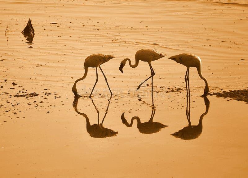 Flamingos imagem de stock