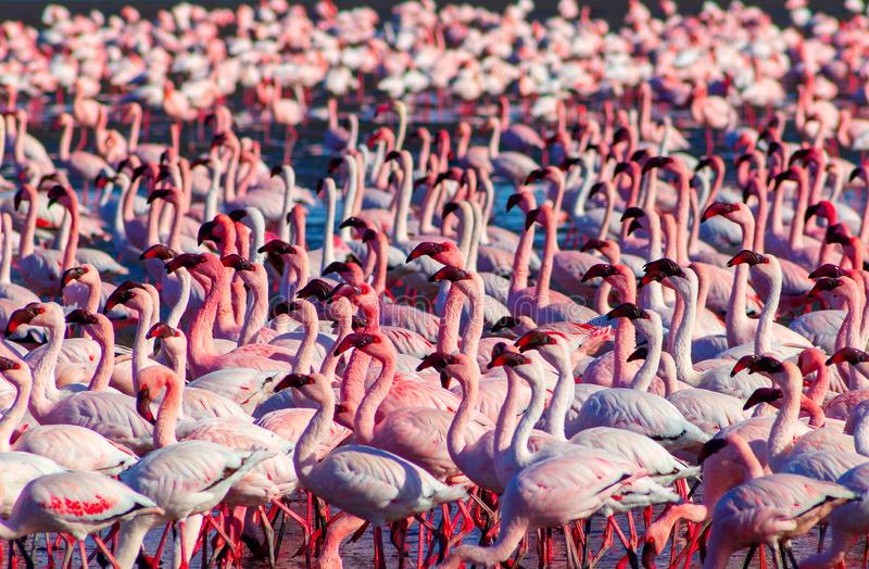 Flamingos africanos que andam no lago de sal azul de Namibias imagens de stock royalty free