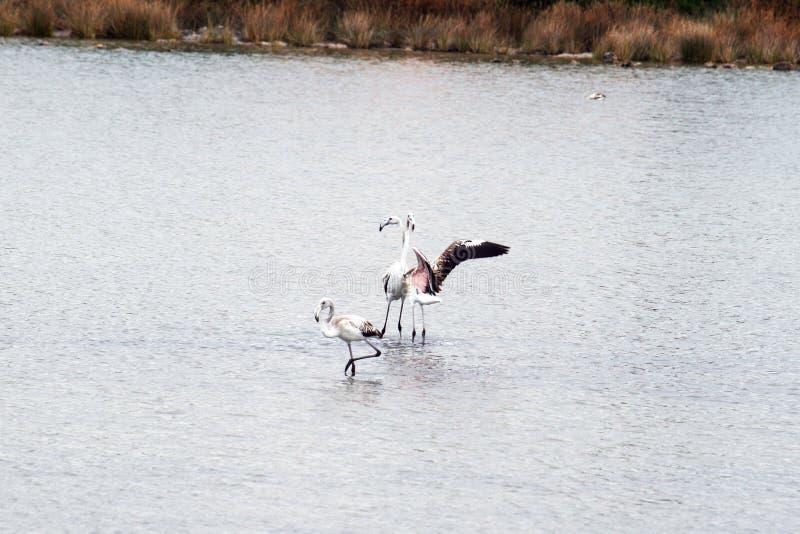 Flamingos amigáveis fotos de stock