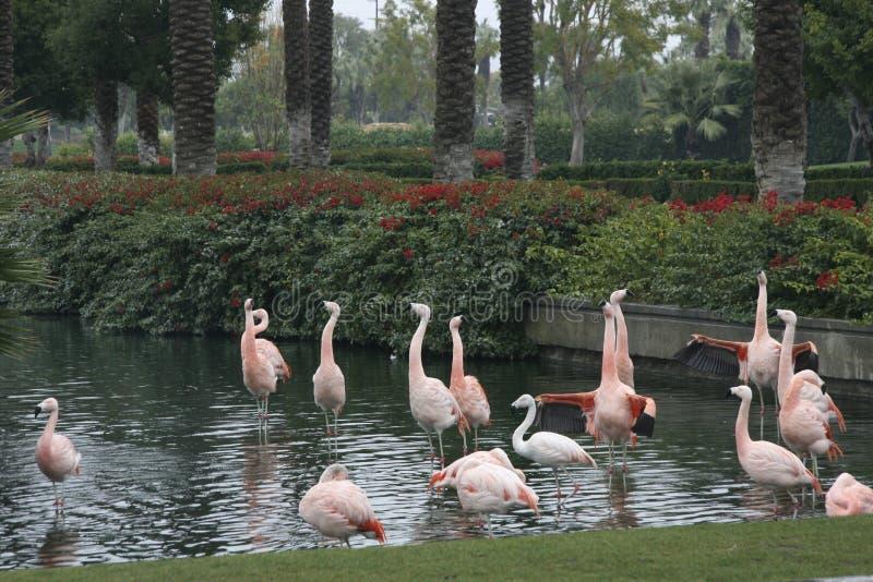 Flamingos arrogantes na água fotos de stock royalty free
