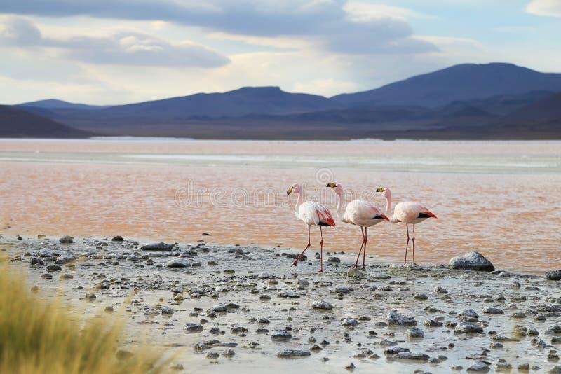 Flamingos auf rotem See, Salar de Uyuni, Bolivien lizenzfreies stockbild