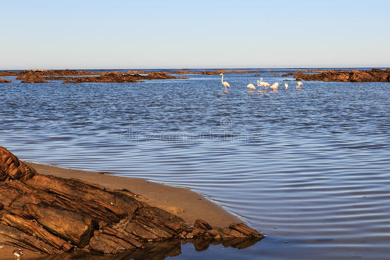 Flamingos in the Bay. Greater flamingos in the bay at McDougalls near Port Nolloth - South Africa stock photo