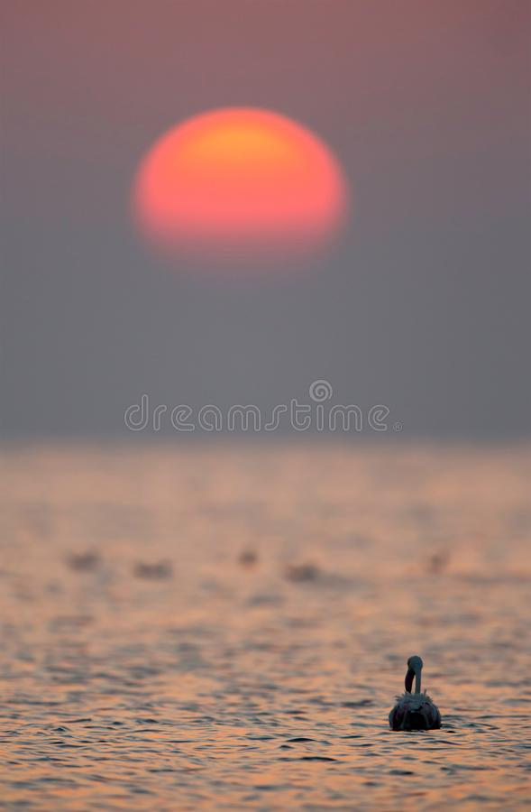 Greater Flamingo and the morning sun stock photo