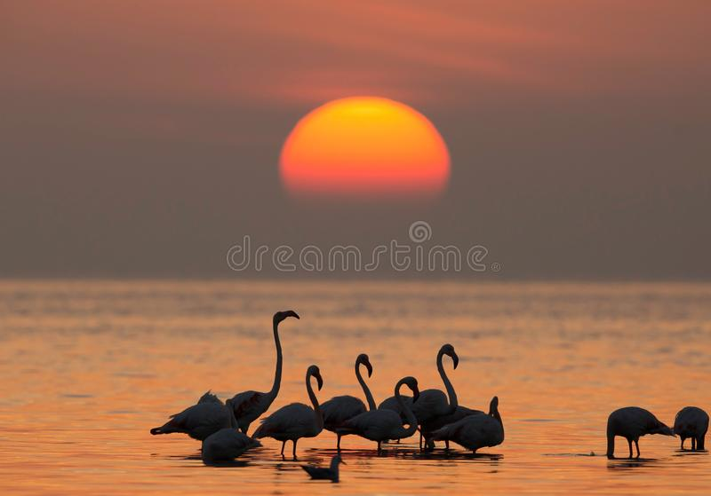 Greater Flamingos and the morning sun. Flamingos are beautiful and gregarious wading birds stock photography