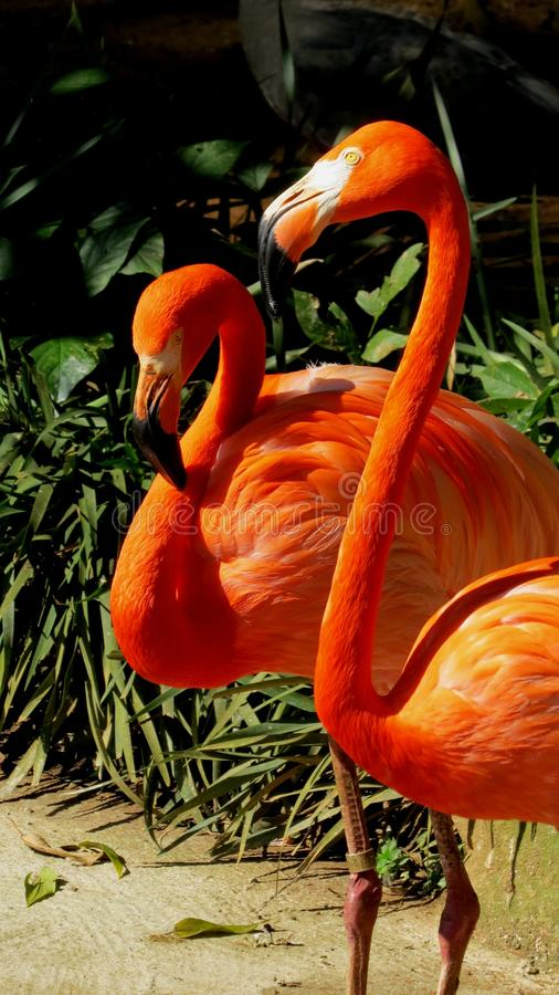 FLAMINGOS. BEAUTIFUL FLAMINGOS IN THE ZOO OF SÃO PAULO royalty free stock photography