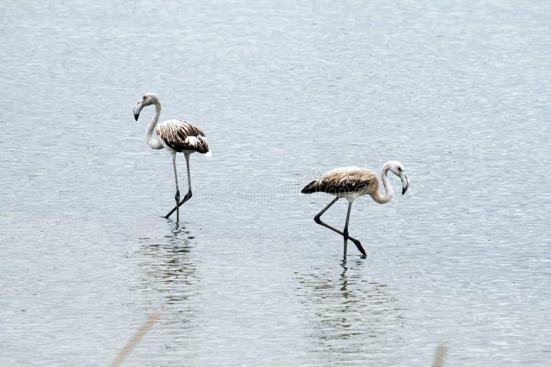 Flamingos brancos fotos de stock royalty free