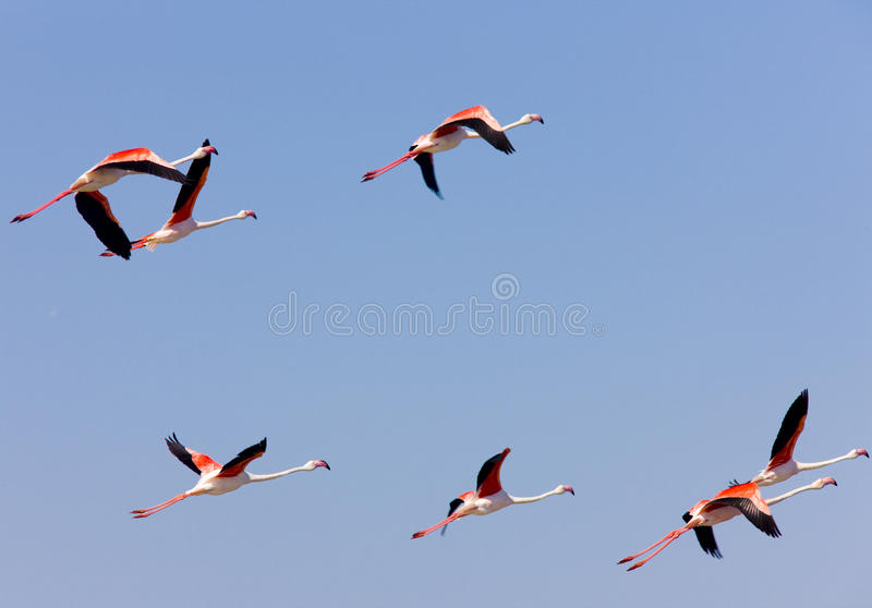 Flamingos in Camargue lizenzfreie stockbilder