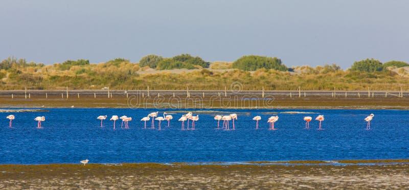 Flamingos in Camargue lizenzfreie stockfotos
