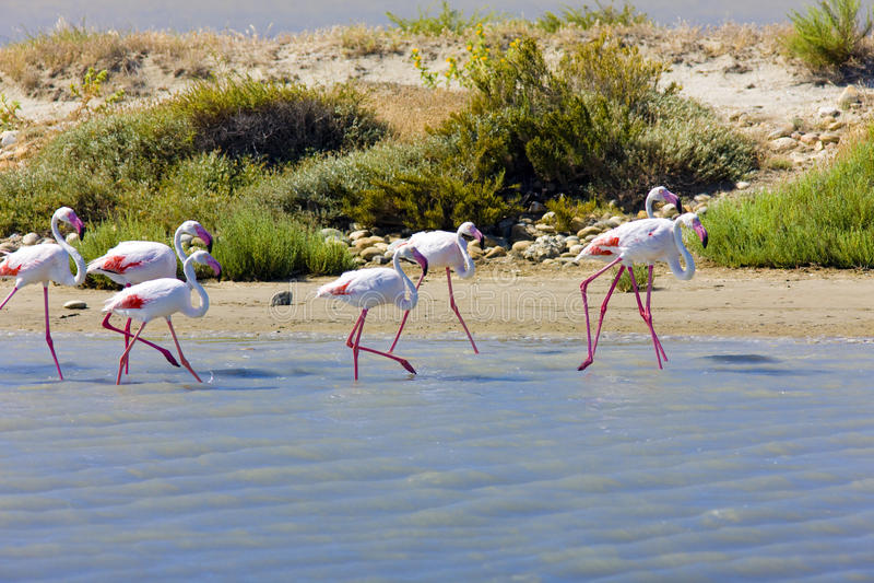 Flamingos in Camargue stockfotografie