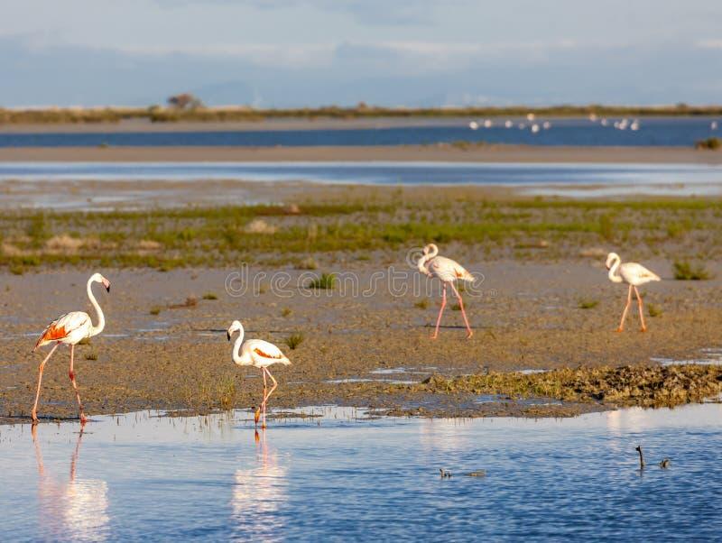 Flamingos, Camargue, Provence, Frankreich stockfotografie