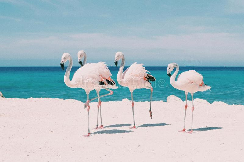 Flamingos in the Caribbean. Young white flamingos on white sand beach against turquoise water sea in the caribbean royalty free stock photography