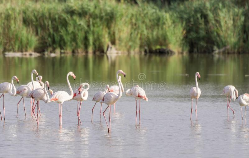 Flamingos in The Carmargue. A pat of pink flamingos wading in the briny waters of the Camargue, a wetland in France royalty free stock photo