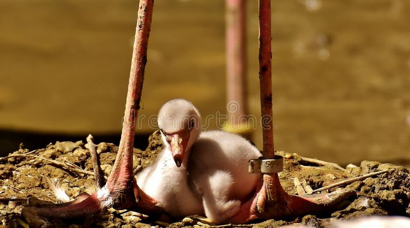 Flamingos, Chicks, Cute, Birds royalty free stock photography