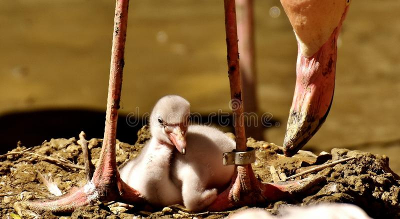Flamingos, Chicks, Cute, Birds Free Public Domain Cc0 Image
