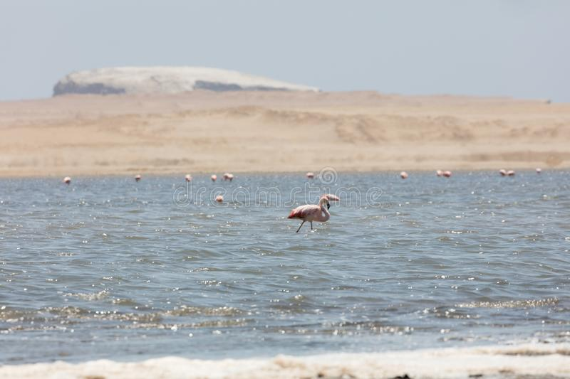 Flamingos  in Paracas, Peru. Flamingos chilenos  in National reserve of Paracas, Peru america animals ballestas bay beach beauty blue cruise cruiser day desert royalty free stock image