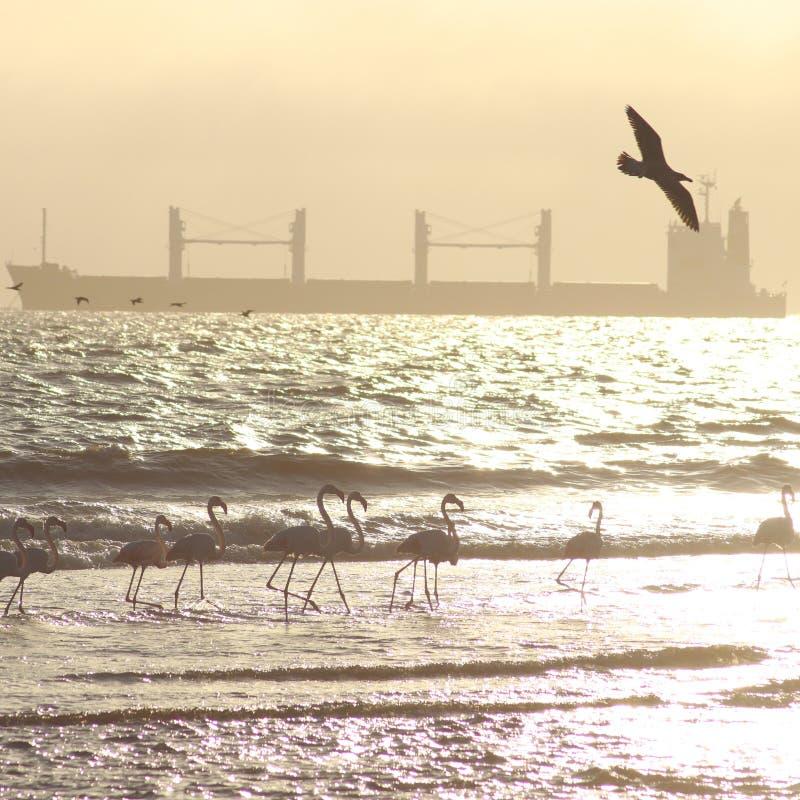 Flamingos com o navio de recipiente vazio em Namíbia fotografia de stock