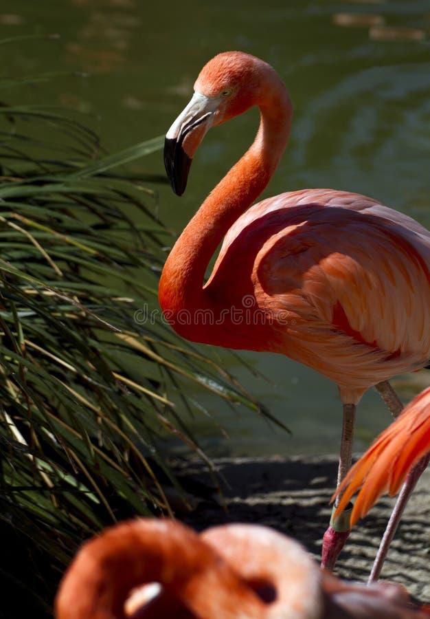 Flamingos cor-de-rosa foto de stock royalty free