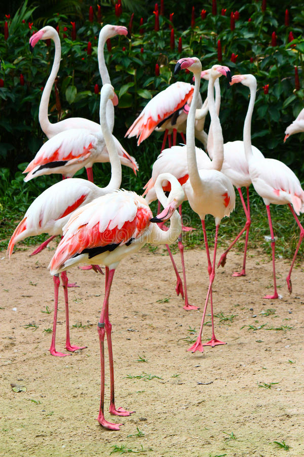 Flamingos cor-de-rosa fotografia de stock royalty free