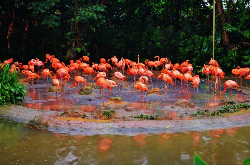 Flamingos cor-de-rosa fotos de stock royalty free