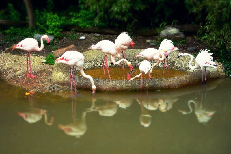 Flamingos cor-de-rosa com reflexão fotos de stock
