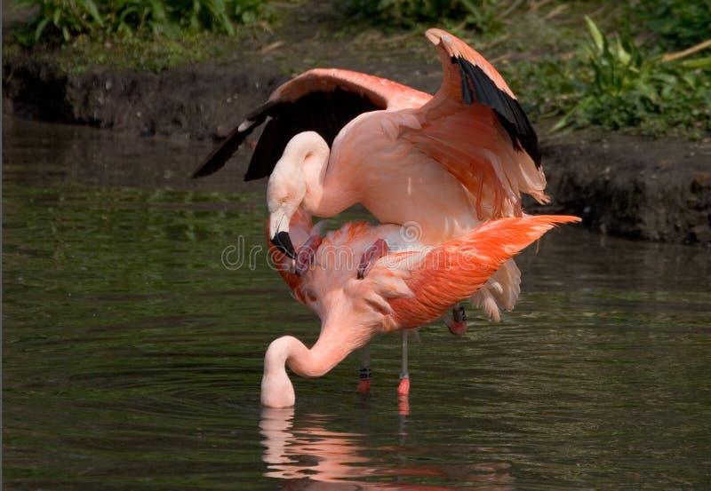 Flamingos de acoplamento fotografia de stock royalty free