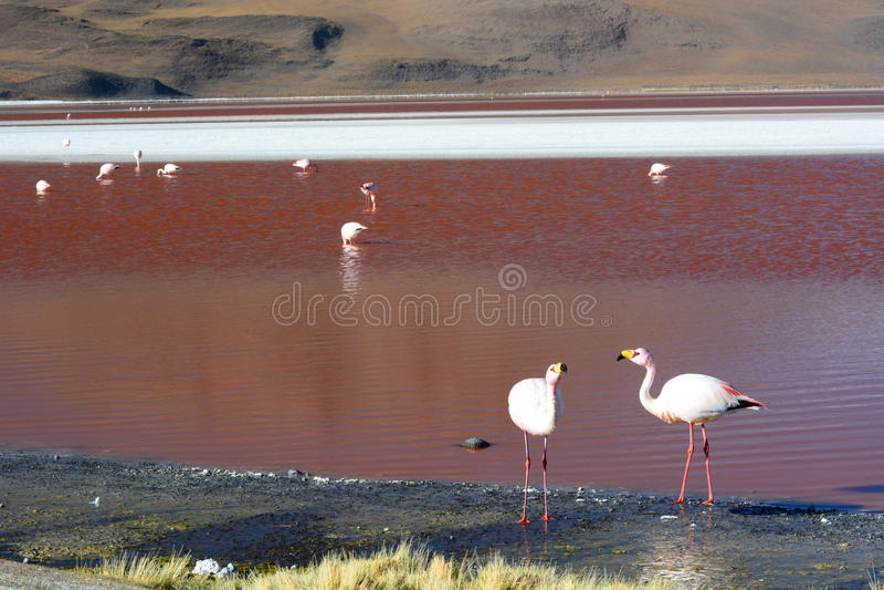 Flamingos de James em Laguna Colorada Reserva de Eduardo Avaroa Andean Fauna National bolívia fotografia de stock