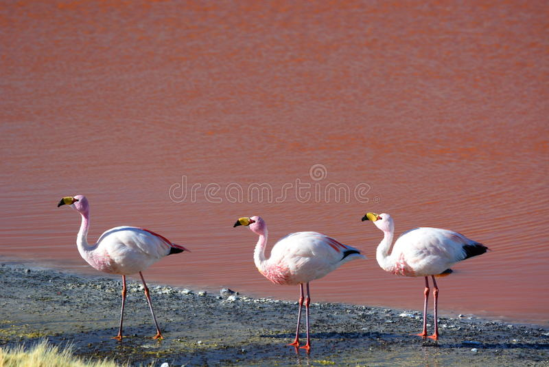 Flamingos de James em Laguna Colorada Reserva de Eduardo Avaroa Andean Fauna National bolívia fotos de stock royalty free