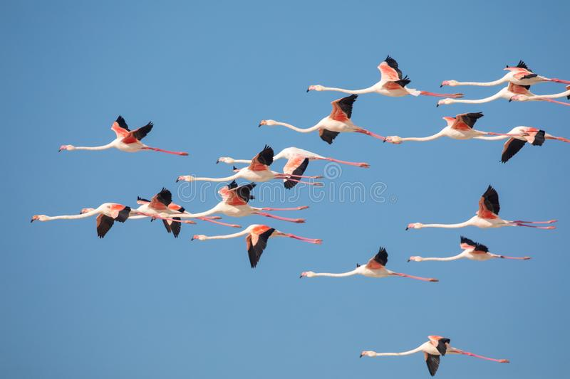 Flamingos in the De Mond coastal nature reserve, South Africa. Swarm of flying Flamingos in the De Mond coastal nature reserve, South Africa royalty free stock photo