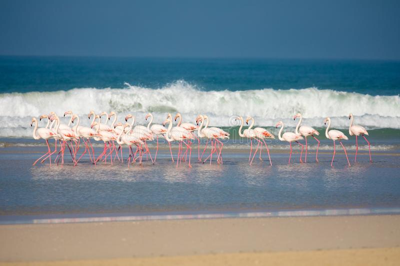 Flamingos in the De Mond coastal nature reserve, South Africa. Swarm of standing Flamingos in the De Mond coastal nature reserve, South Africa, with blue Indian royalty free stock photography