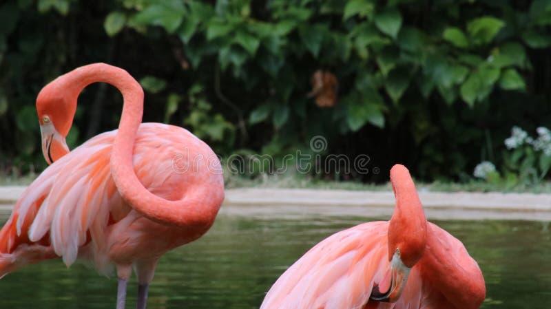 Flamingos de Primping foto de stock