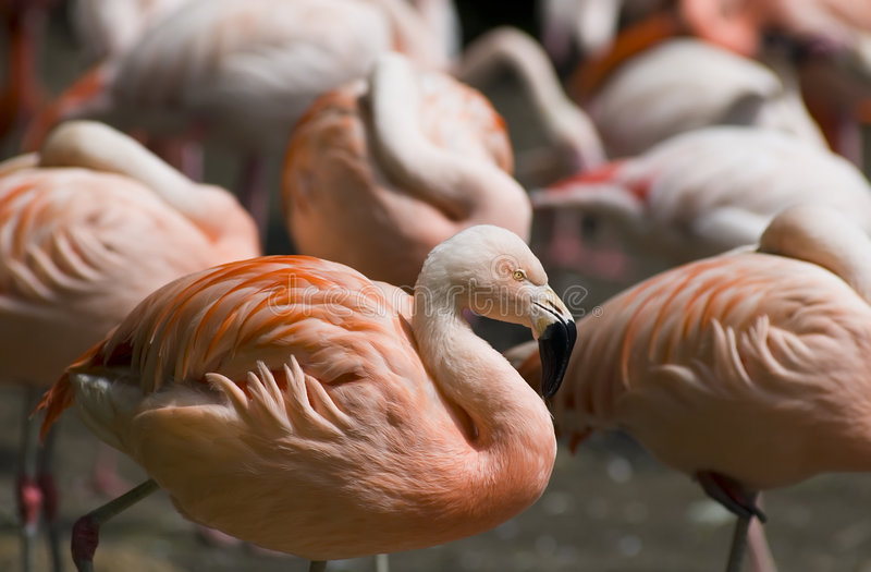Flamingos do chileno de Colorfull imagens de stock royalty free
