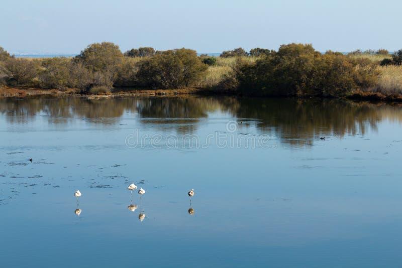 Flamingos e outros pássaros que descansam na água fotografia de stock royalty free
