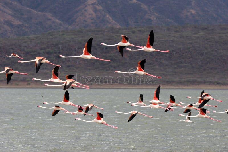 Flamingos elegantes imagens de stock