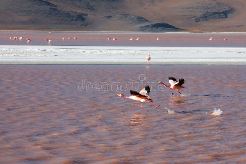 Flamingos em Bolívia imagens de stock