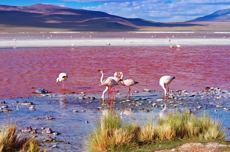 Flamingos em Laguna Colorada, Bolívia fotografia de stock